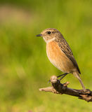 Portrait of a female Stonechat Stock Photos
