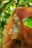 Portrait of a female Sumatran orangutan in Gunung Leuser National Park, Sumatra, Indonesia stock photos
