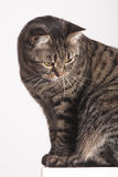 Portrait female tabby cat on wall looking down Stock Image