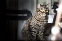 Portrait of a female tabby cat Stock Images