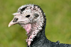 Portrait female turkey Stock Photo
