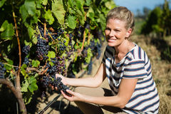 Portrait of female vintner examining grapes Royalty Free Stock Images