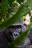 Portrait of a female of The western lowland gorilla Stock Photography