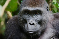 Portrait of a female of The western lowland gorilla Stock Photo