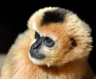Portrait of a female White Cheeked Gibbon Stock Image