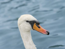 Portrait of a female white swan swimming Stock Image