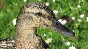 Portrait of a female Wild duck. A happy female duck besides the pool on the bank with grass and white daisies. She is looking for food Stock Photography