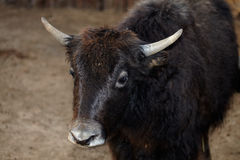 Portrait of a female yak Stock Photo