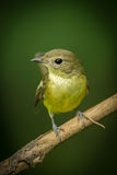 Portrait of Female yellow-rumped flycatcher. (Ficedula zanthopygia) in nature of Thailand Stock Photo