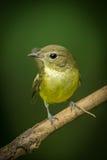 Portrait of Female yellow-rumped flycatcher Stock Photo