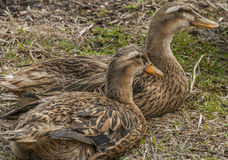 Portrait of a females of duck Royalty Free Stock Photos
