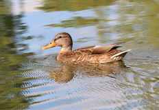 Portrait of a females of duck on water Royalty Free Stock Photography