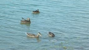 Portrait of a females of duck on the water stock video footage