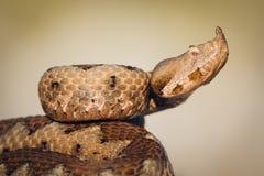 Portrait femelle de vipère à cornes (ammodytes de Vipera) Photo libre de droits