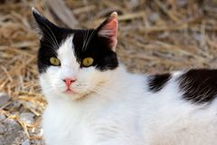 Portrait of feral black-white cat in the countryside Stock Photo