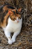 Portrait of feral tricolor cat in the countryside Royalty Free Stock Images