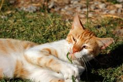 Portrait of feral white-orange young cat in the countryside Royalty Free Stock Images