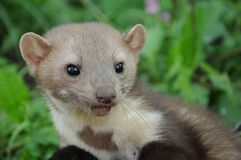 Portrait of a ferret Royalty Free Stock Image