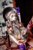 Portrait of ferret sitting on woman`s hand and looking forward. Stock Photos