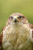 Portrait of a Ferruginous hawk (Butea Regalis) Royalty Free Stock Images