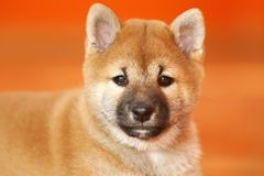 Portrait of a few weeks old puppy. Extreme closeup of a few weeks old shiba inu puppy. Swallow depth of field Royalty Free Stock Images