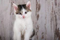 Portrait of few weeks old white-tabby kitten on white wooden background Stock Photo