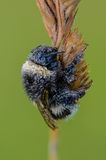Portrait of a field Bumblebee closeup. Which is covered with small drops of morning dew Stock Image