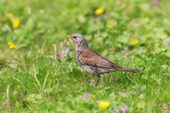 Portrait of a fieldfare Royalty Free Stock Photography