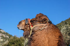 Portrait of  fighting camel 1 Royalty Free Stock Photos