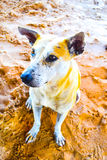 Portrait of Filipino dog that sits on the beach. Royalty Free Stock Image