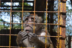 Portrait of Filipino monkey sad staring through the cage. Stock Photos