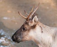 Portrait of Finnish forest reindeer - Rangifer tarandus fennicus Stock Images