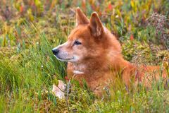 Finnish spitz in the grass Stock Images
