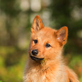 Finnish Spitz dog Stock Photos