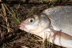 Portrait of fish on a grass Royalty Free Stock Images