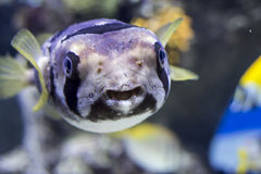 Portrait of fishes Cyclichthys orbicularis. In the aquarium stock photography