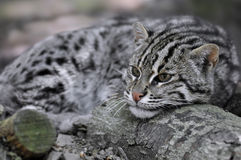 Portrait of  fishing cat Stock Photos