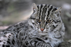 Portrait of  fishing cat Stock Photo