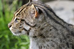 Portrait of  fishing cat Stock Image