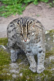 Portrait of fishing cat looking at camera Stock Photography