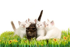 Portrait of five British Shorthair Kittens sitting, 8 weeks old, Royalty Free Stock Photography