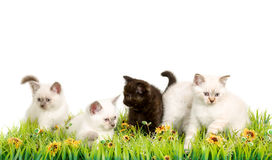 Portrait of five British Shorthair Kittens sitting, 8 weeks old, Royalty Free Stock Photos