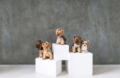 Portrait of five Happy Yorkshire Terrier Dog on grey background royalty free stock photo