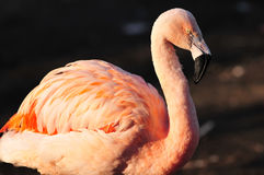Portrait of Flamingo Royalty Free Stock Photography