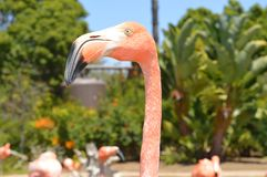 Portrait of flamingo Stock Photography