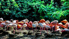 Portrait of a flamingo.. Flamingo, also known as red stork, the world a total of three genera: big flamingo, flamingo and Argentine flamingo, five kinds. Mainly Royalty Free Stock Photo