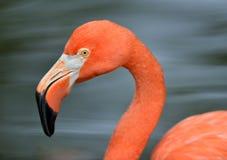 Portrait of flamingo Royalty Free Stock Image
