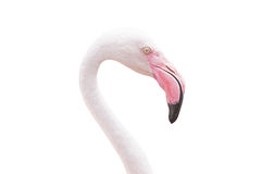 Portrait Of A Flamingo Stock Photos
