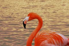 Portrait of the flamingo up close. The bird enjoys swimming on the water. A wonderful reflection of the sunset in the background. stock photography