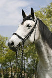 Portrait of a fleabitten grey horse with leather harness. Head shot of a thoroughbred dapple gray horse farmland Royalty Free Stock Image